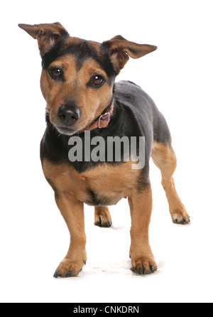 Haushund, Jack Russell Terrier, Erwachsene, stehend, mit Kragen - Stockfoto