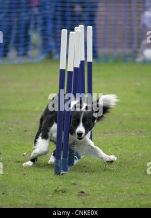 Inländische Hund, Border Collie, Erwachsener, Weben durch Polen, England, september - Stockfoto