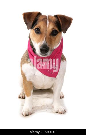 Haushund, Jack Russell Terrier, Erwachsener, tragen Kopftuch, sitzen - Stockfoto