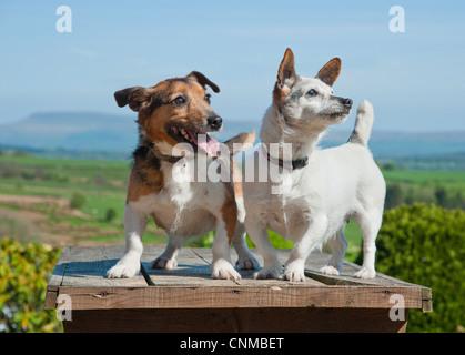 Haushund, Jack Russell Terrier, zwei Erwachsene, zusammenstehen, Chipping, Lancashire, England, april - Stockfoto