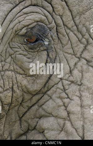 Afrikanischer Elefant (Loxodonta Africana) Erwachsene, Nahaufnahme von Augen und Haut, Masai Mara, Kenia - Stockfoto