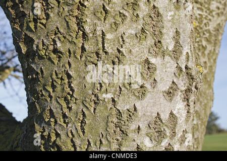 Silberpappel (Populus Alba) Nahaufnahme der Rinde, Wickham Skeith, Suffolk, England, Oktober - Stockfoto