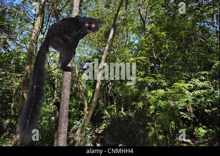 Männchen schwarz Lemur (Eulemur Macaco), Klettern Baumstamm im Wald Lebensraum, Nosy Komba, Madagaskar - Stockfoto