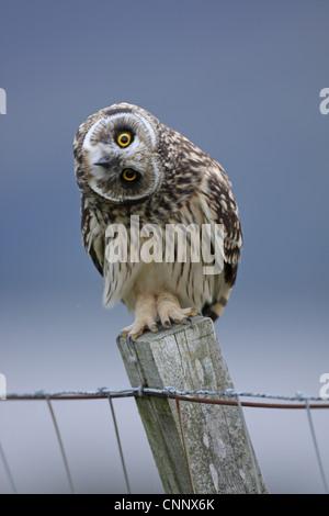 Sumpfohreule, Asio Flammeus, juvenile Kopf winken Autor - Stockfoto