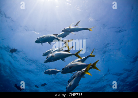 Eine kleine Schule der Makrelen über Korallen Bommie in Belize schweben. - Stockfoto