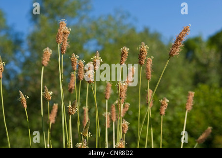 spitzwegerich spitzwegerich bl tenstand plantago lanceolata stockfoto bild 14161782 alamy. Black Bedroom Furniture Sets. Home Design Ideas