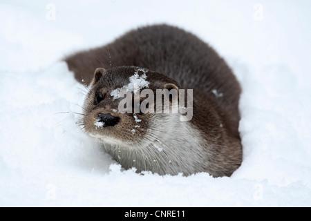 Europäischen Fischotter, europäischer Fischotter, eurasische Fischotter (Lutra Lutra), im Schnee - Stockfoto
