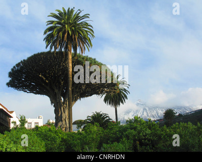 Reißen Sie, Drachenblut, Draegon Baum, Kanarischen Drachenbaum, Drago (Dracaena Draco), tausend Jahre alten Drachenbaum - Stockfoto