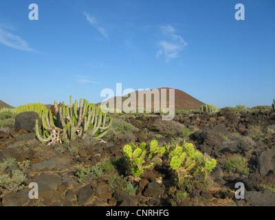 Kanaren-Wolfsmilch (Euphorbia Canariensis), auf vulkanischem Gestein in saftige Vegetation zusammen mit Opuntia - Stockfoto