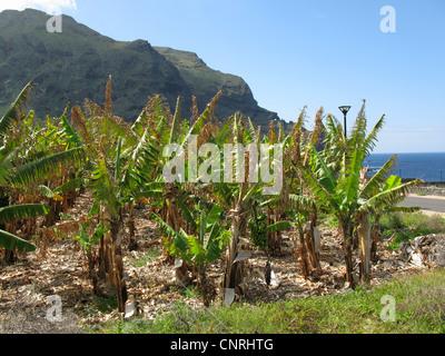 Banane (Musa Paradisiaca, Musa X paradisiaca), Bananen-Plantage in der Northwest, Kanaren, Teneriffa, Playa Arenosa - Stockfoto