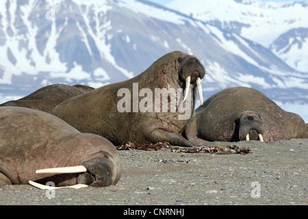 Walross (Odobenus Rosmarus), drei Personen auf dem Strand, Norwegen, Spitzbergen, Poolepynten - Stockfoto