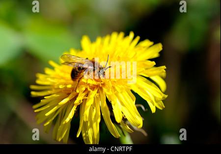 Bienen sammeln Nektar von der Blume ein Löwenzahn und die Pflanze zu bestäuben. - Stockfoto