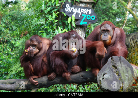 Orang Utan, Orang-Utan, Orang-Outang (Pongo Pygmaeus), drei Personen, die Fütterung - Stockfoto