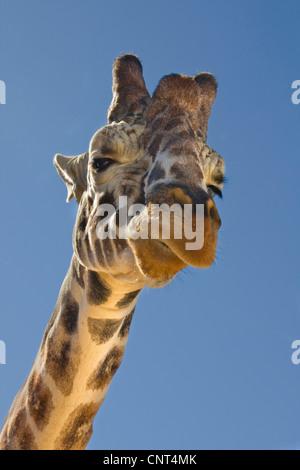 Giraffe (Giraffa Plancius), Porträt, von unten - Stockfoto
