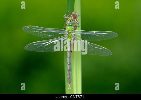 blau-grünes Darner, südlichen Aeshna südlichen Hawker (Aeshna Cyanea), frisch geschlüpft mit Exuvia, Trocknen seine - Stockfoto