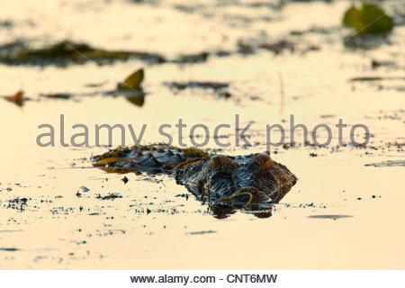 Salzwasser-Krokodil, Leistenkrokodil (Crocodylus Porosus), großes Salzwasserkrokodil liegen auf der Lauer nach Beute - Stockfoto