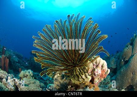 Ein Feder-Stern (Crinoid SP.) mit gestreckten, Kimbe Bay, Papua Neu-Guinea. - Stockfoto
