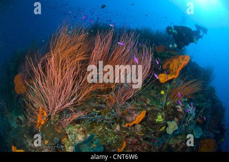 Rote Peitsche Fan Koralle (Ctenocella SP.) mit Taucher und lila Athias, Kimbe Bay, Papua Neu-Guinea. - Stockfoto