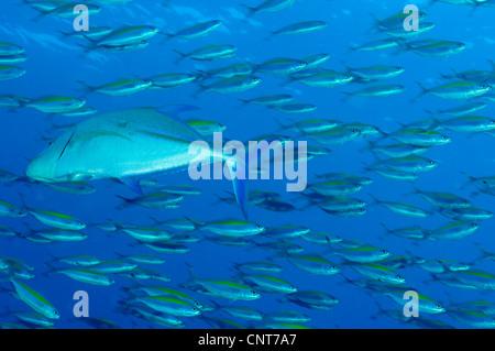 Schule des Breitband-Füsilier Fisches wird von rotem Makrelen auf preyed. - Stockfoto