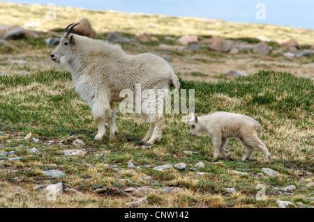 Mutter und Baby Bergziege (Oreamnos Americanus) auf 12.900 Fuß Ebene Kolorados Mount Evans - Stockfoto