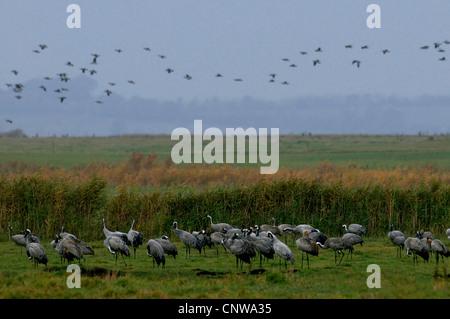 Kraniche (Grus Grus), Gruppen stehen in einer Auenlandschaft oder fliegen über Deutschland, Mecklenburg-Vorpommern, - Stockfoto