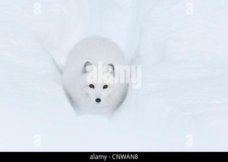 Polarfuchs, Polarfuchs (Alopex Lagopus, Vulpes Lagopus), Fuß einen ausgetretenen Pfad durch den Tiefschnee, Norwegen, - Stockfoto