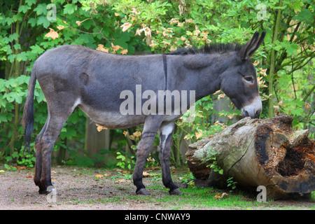 inländische Esel (Equus Asinus F. Asinus), schnüffeln an ein Protokoll, Deutschland - Stockfoto