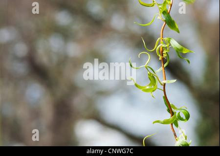 Salix sepulcralis' x Erythroflexuosa. Red Willow gefoltert/goldenen Locken Willow/Curly golden Willow Stockfoto