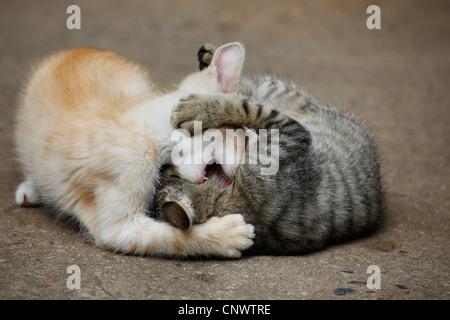 Hauskatze, Hauskatze (Felis Silvestris F. Catus), zwei Kätzchen spielen, Deutschland - Stockfoto