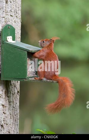 Europäische Eichhörnchen, eurasischen rote Eichhörnchen (Sciurus Vulgaris), immer von einer Fütterung Box füttern, - Stockfoto