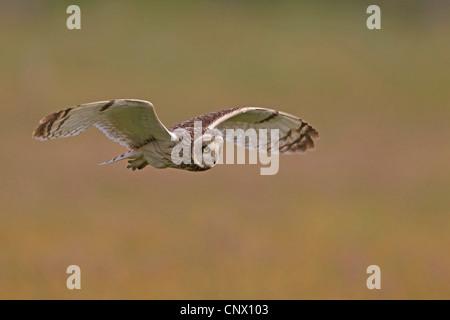 Sumpfohreule (Asio Flammeus), überfliegen Auenlandschaft auf der Suche nach Beute, Deutschland, Insel Langeoog - Stockfoto