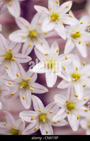 Weiß weiß Blaustern Blumen, Griechenland, Kreta, Blaustern, Meer Blaustern (Urginea Maritima) - Stockfoto