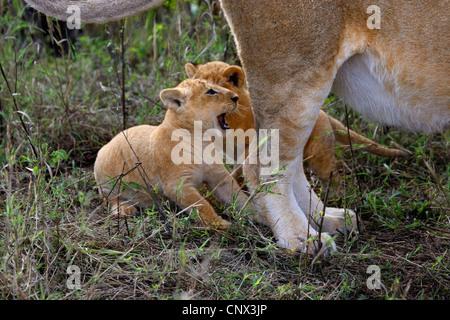 Löwe (Panthera Leo), zwei Kätzchen sitzen an die Mutter Hinterbeine, Kenia, Masai Mara Nationalpark - Stockfoto