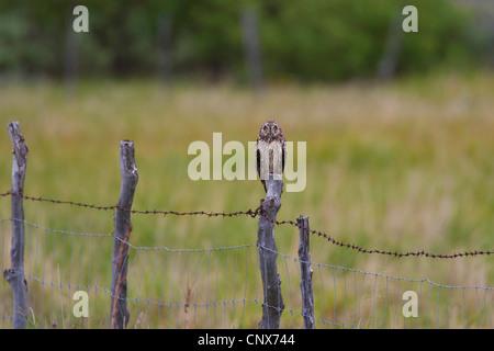 Sumpfohreule (Asio Flammeus), sitzt auf einem Zaunpfahl, Niederlande - Stockfoto