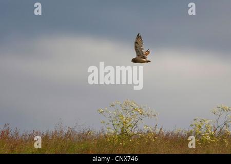 Sumpfohreule (Asio Flammeus), fliegt über eine Wiese, Niederlande - Stockfoto