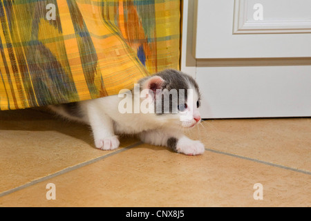 Hauskatze, Hauskatze (Felis Silvestris F. Catus), kommt aus seinem Versteck unter einem Vorhang - Stockfoto