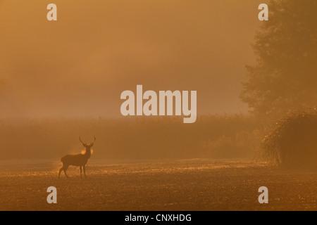 Rothirsch (Cervus Elaphus), Hirsch auf einem Feld in Morgen Nebel, Deutschland, Sachsen, Oberlausitz - Stockfoto