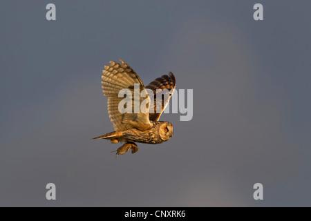 Waldohreule (Asio Otus), fliegen mit Gefangenen Maus in den Krallen, Deutschland, Niedersachsen, Langeoog - Stockfoto