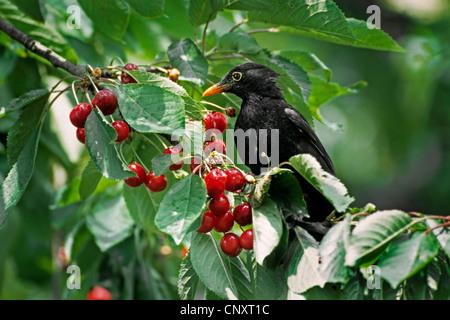 vogel kirsche prunus avium mit rote bl tter im herbst th ringen deutschland stockfoto bild. Black Bedroom Furniture Sets. Home Design Ideas