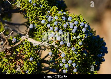 Kalifornien-Wacholder (Juniperus Californica), Zweig mit Samen, USA, Kalifornien, Mojave, Joshua Tree Nationalpark - Stockfoto