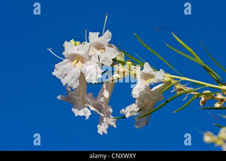 Wüste Weide (Chilopsis Linearis), Bluehender Zweig, USA, Kalifornien, Mojave - Stockfoto