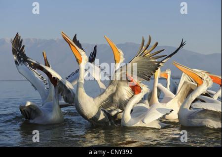 Krauskopfpelikan (Pelecanus Crispus) schwimmen Gruppe suchen, ist gefüttert, Griechenland, Mazedonien, Kerkini-See - Stockfoto