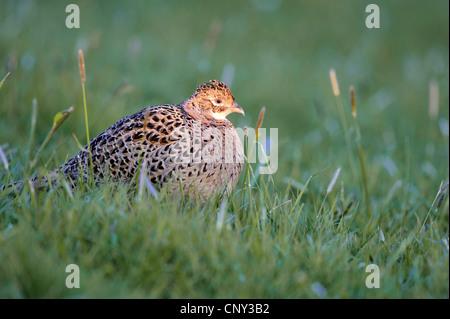 gemeinsamen Fasan, Kaukasus Fasane, kaukasische Fasan (Phasianus Colchicus), weiblichen sitzen in Rasen, Deutschland, Niedersachsen, Spiekeroog