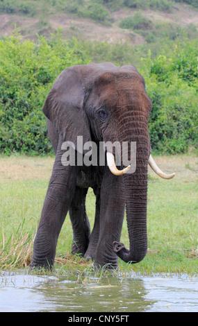Afrikanischer Elefant (Loxodonta Africana), am Ufer Flusses, Uganda, Hütte, Queen Elizabeth National Park - Stockfoto