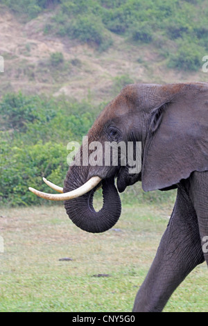 Afrikanischer Elefant (Loxodonta Africana), Porträt, Seitenansicht, Uganda, Queen Elizabeth National Park, Hütte - Stockfoto