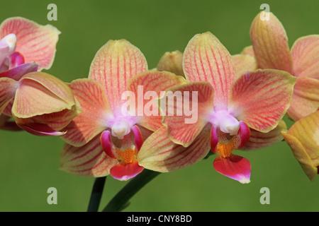 Phalaenopsis sorte motte orchidee blume w chst im gew chshaus bei rhs wisley stockfoto bild - Epiphyten zimmerpflanze ...