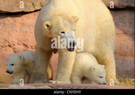 Eisbär (Ursus Maritimus), Mutter mit Welpen im outdoor-Gehäuse - Stockfoto