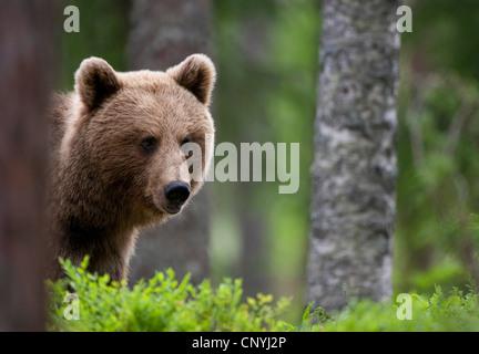 Europäischer Braunbär (Ursus Arctos Arctos), weibliche Jugendliche stehen in einer leichten Nadelwald Blick hinter - Stockfoto