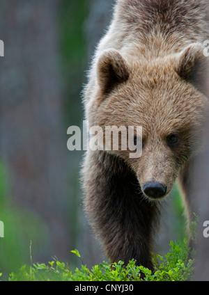 Europäischer Braunbär (Ursus Arctos Arctos), weibliche Jugendliche stehen in einer leichten Nadelwald, Finnland, - Stockfoto