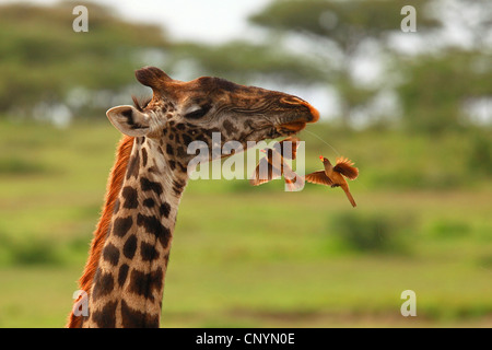 Giraffe (Giraffa Plancius), rot-billed Oxpecker Verzehr von anderen Insekten, Tansania, Ngorongoro Conservation Area Stockfoto